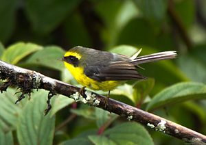 Yellow-bellied fantail - Yellow-bellied fantail at Zuluk, Sikkim