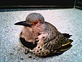 Yellow Shafted Flicker (1).jpg