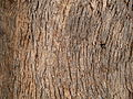 Yellow box bark (3437410439).jpg