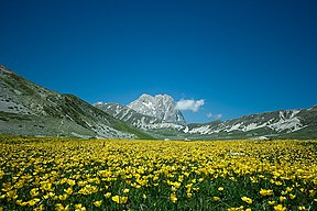 Yellow flowers at Campo Imperatore-1.jpg