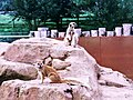 Yellow mongoose & meerkat.jpg