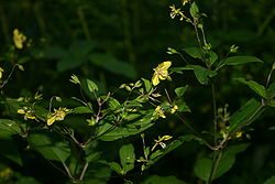 Yellow woodland flower 002.JPG