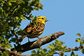 Yellowhammer (Emberiza citrinella) male.jpg