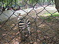 Zebra at Bannerghatta National Park 4-24-2011 12-59-35 PM.JPG