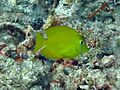 Zebrasoma flavescens Maldives.JPG