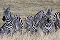 Zebres ngorongoro.jpg