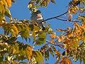 Zenaida asiatica (paloma aliblanca) nogal.jpg
