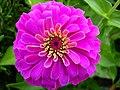 Zinnia Flowers گل آهاری 11.jpg