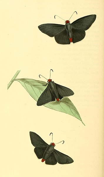 File:Zoological Illustrations Volume I Plate 33.jpg