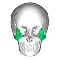 Zygomatic bone anterior.png