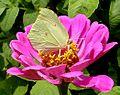'Gonepteryx rhamni' 1 female.JPG