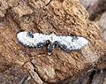 (1825) Lime-speck Pug (Eupithecia centaureata) (17567151882).jpg