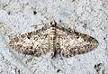 (1840) Shaded Pug (Eupithecia subumbrata) - Flickr - Bennyboymothman (1).jpg
