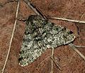 (1926) Pale Brindled Beauty (Phigalia pilosaria) (4413109340).jpg
