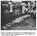 (1956) Fisherie in Liberia Fig.14.jpg