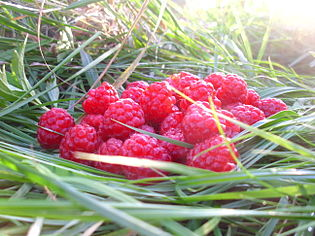 (2014) Raspberries on gras.JPG