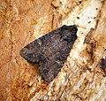 (2343) Common Rustic (Mesapamea secalis) (27699771231).jpg