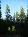 Árboles Yosemite.JPG