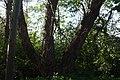 Årstaskogen poppel93.jpg