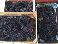 Берба на грозје во село Раштак.jpg