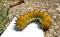 Большой ночной павлиний глаз - Saturnia pyri - Giant Peacock Moth - Голямо нощно пауново око - Wiener Nachtpfauenauge (35763405232).jpg