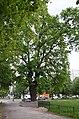 Вікове дерево дуба-красеня, Дарницький район Харківське шосе — вул. Вербицького.jpg