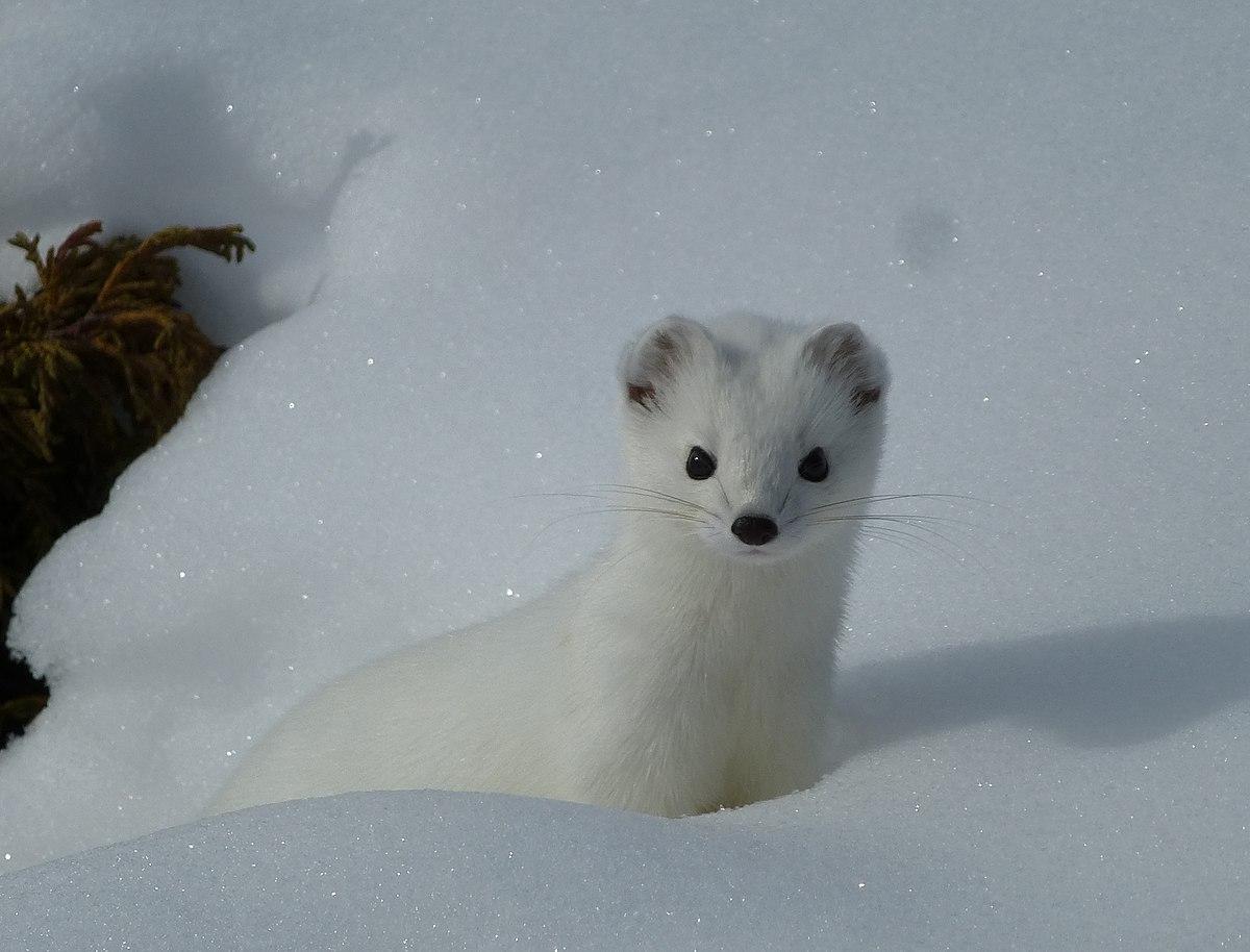 Hermelin fehér téli bundában