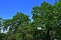Дуб Янати DSC 0936.jpg
