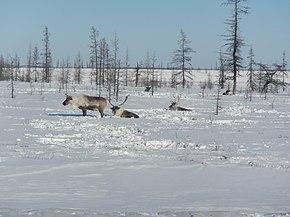 Зимой с оленями.jpg