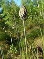 Квітка пухівки піхвової в заказнику Полігон.jpg