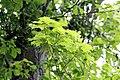 Клен сахарный Acer saccharum.jpg
