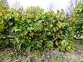 Крупный зеленый дальневосточный виноград ф1.JPG