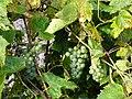 Крупный зеленый дальневосточный виноград ф2.JPG