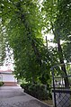 Липа європейська, Кам'янець-Подільський.jpg
