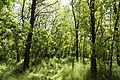 Ліс акації (Робинія).jpg