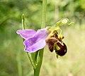 Офрис пчелоносная Ophrys apifera Bee orchid Пчелоносно бръмбарче Bienen-Ragwurz (42314987091).jpg