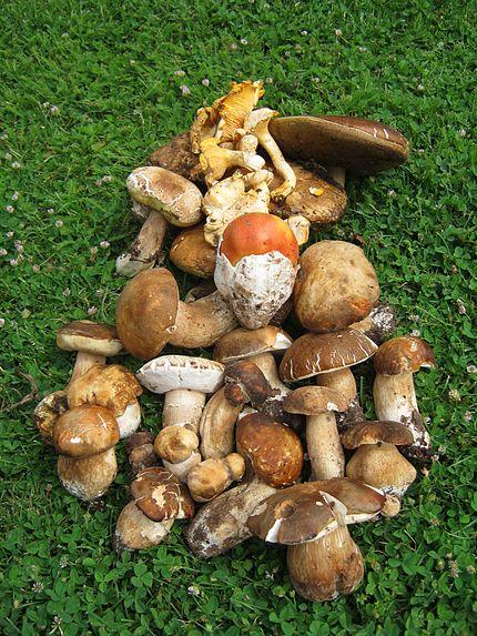 Ciuperci comestibile - Biaplant