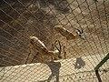احد انواع الغزلان في حديقة الحوانات في الزوراء - panoramio.jpg