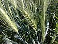 خوشه گندم Wheat ear - panoramio.jpg