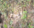 കുറുനരി,Golden Jackal or Indian Jackal, canis aureus indicus in white colour.jpg