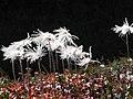 チングルマの終盤 - panoramio.jpg