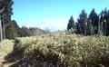 中葛城山山頂付近の笹原.png