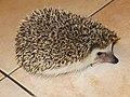 刺蝟 Hedgehog - panoramio.jpg