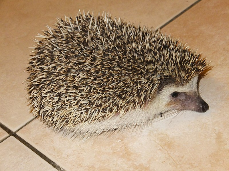 File:刺蝟 Hedgehog - panoramio.jpg