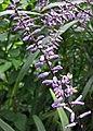 劍葉鐵樹 Cordyline stricta -哥本哈根大學植物園 Copenhagen University Botanical Garden- (36855742381).jpg