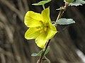 加州連翹 Fremontodendron californicum -比利時國家植物園 Belgium National Botanic Garden- (9266982277).jpg