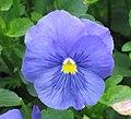 大花三色堇 Viola wittrockiana Azure Blue -香港花展 Hong Kong Flower Show- (9198132905).jpg