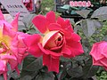 大馬士革玫瑰 Rosa damascena -北京花卉大觀園 The World Flower Garden, Beijing- (9207618584).jpg