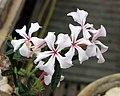 天馬空 Pachypodium succulentum -哥本哈根大學植物園 Copenhagen University Botanical Garden- (36121245334).jpg