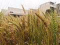 小麥 Wheat - panoramio.jpg